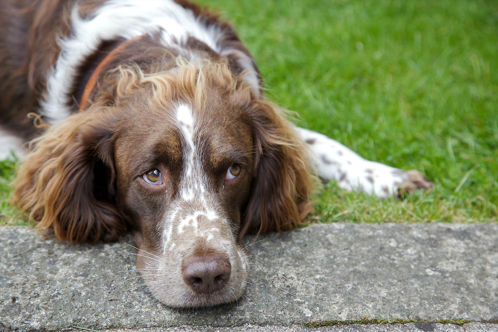 The house dog, Fuglie, at The Old Rectory, Chumleigh, Devon <br /> CREDIT: Vanessa Berberian for The Wall Street Journal<br /> LUXRENT-Nanassy/Chulmleigh