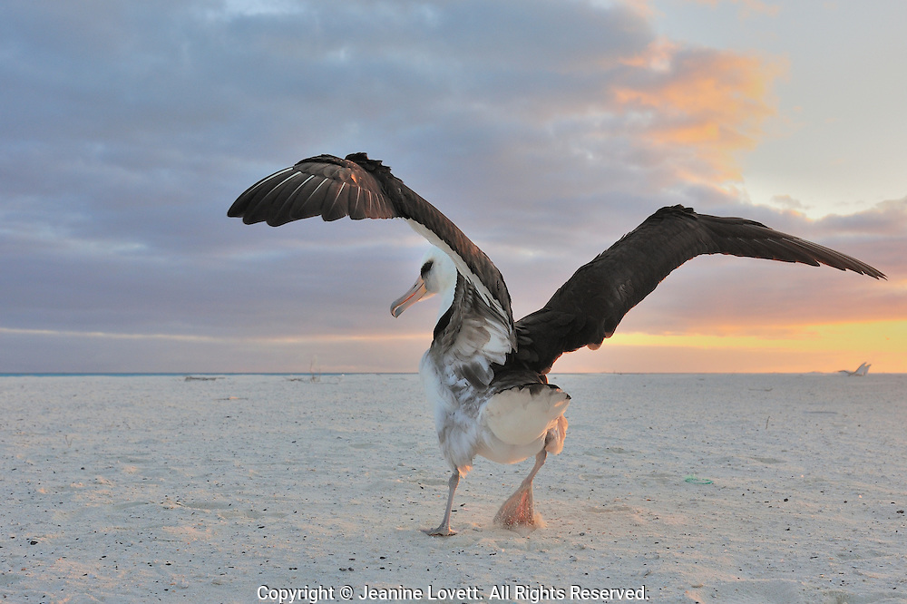 Layson albatross, Phoebastria immutabilis. Midway Island. Layson albatross makes a running start to take flight.