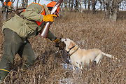 Cole Lieser's Yellow Lab, Moose, retrieves a pheasant during a late season hunt in South Dakota