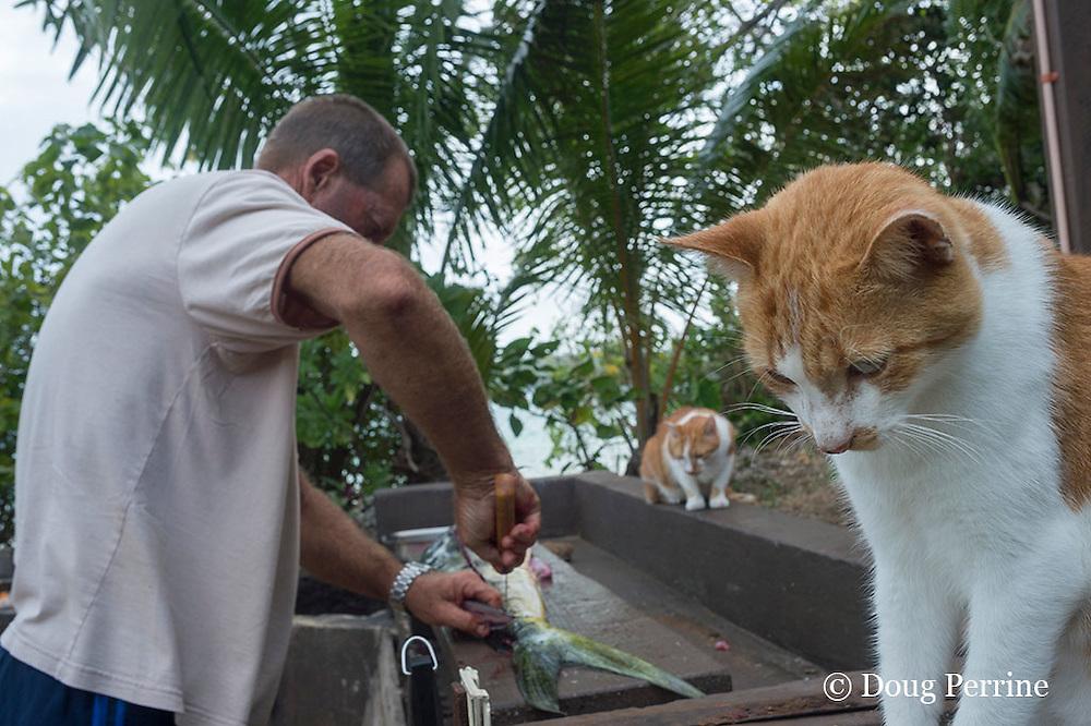 Steve Campbell cleaning and filleting mahi mahi fish caught aboard Reel Addiction, while cats wait for scraps, Ika Lahi Fishing Lodge, Vava'u, Kingdom of Tonga, South Pacific