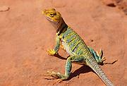350101-1097 ~ Copyright: George H. H. Huey ~ Male Collared lizard. [Crotaphytus collaris].  Southwest Utah.