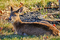 Cold young doe resting in the afternoon sun. Image taken with a Fuji X-T2 camera and 100-400 mm OIS lens (ISO 200, 400 mm, f/5.6, 1/125 sec).