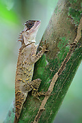 Masked horned tree lizard (Acanthosaura crucigera). Kaeng Krachan National Park. Thailand.