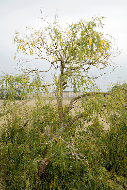 old partly dead weeping willow tree rural South France