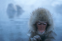A young Japanese macaque (Macaca fuscata) soaking in a steaming hot spring.