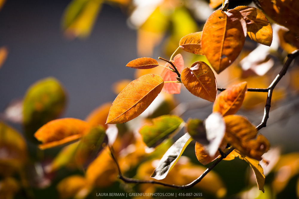 Serviceberry (Amelanchier): Autumn: Fall colours