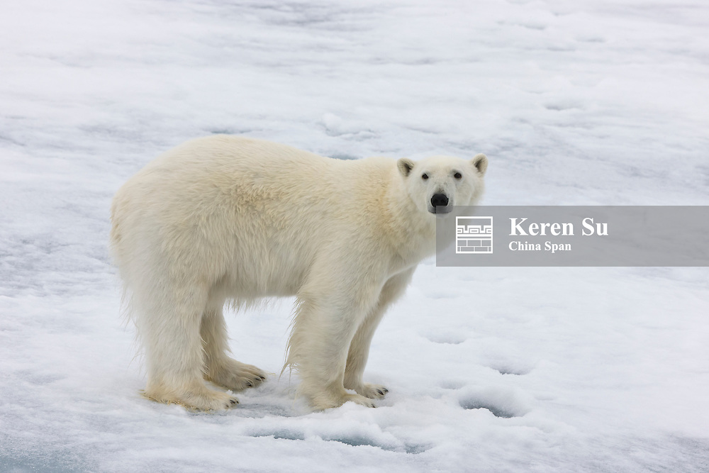 Polar bear on the floating ice in the Arctic Ocean, Olgastretet, Spitsbergen, Norway