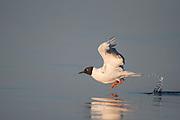 Bonaparte's Gull (Larus philadelphia) Taking Flight, Castine, Maine, US
