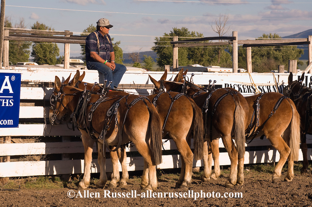 Teamster with team of mules (Mulus mula) in harness at Montana Mule Days in Drummond Montana. Mules are hybrid crosses between Donkey and Horse