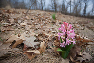 Spring Hyacinth on Hillside