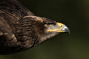Portrait of a Steppe Eagle in flight at the Center for Birds of Prey November 15, 2015 in Awendaw, SC.