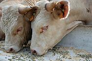 18/07/05 - YTRAC - CANTAL - FRANCE - Bovin viande, taurillons Charolais. Complementation en auge exterieure au GAEC VIDAL - Photo Jerome CHABANNE