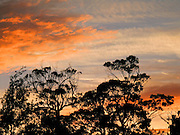 Sunrise turns clouds orange and silhouettes trees over Tasman National Park, Tasmania, Australia.