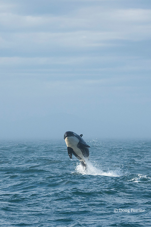 southern resident orca, or killer whale, Orcinus orca, juvenile breaching, with fog bank in background, off southern Vancouver Island, Strait of Juan de Fuca, British Columbia, Canada ( Eastern North Pacific Ocean ); ; #3 in sequence of 6
