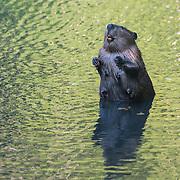 North American beaver (Castor canadensis) at Golden Gerdens, Ballard, Seattle, Washington.  Photo by William Drumm, 2013.