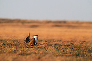 Male sage grouse on a lek in the Great Plains during spring showing mating display. American Prairie Reserve south of Malta in Phillips County, Montana.