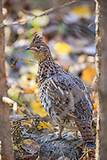 Young ruffed grouse in autumn habitat