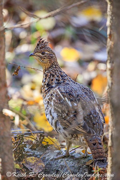 Young ruffed grouse in autumn habitat