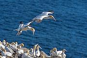 Northern Gannet - Morus bassanus at Bird Rock, St. Mary's Ecological Reserve, Nedwfoundland