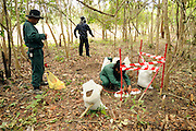 "Somma Phalangsy, age 33, supervises as Female Deputy Team Leader, Phisamai Linsaiyoum, age 20, carefully prepares a red detonation cord along with TNT and C4 explosives to detonate 76, BLU 26 cluster bombs, laying buried in the dirt after being located by one of the Mines Advisory Group ladies teams.  She disposed of the bombs without moving them in a controled demolition.  ..Laos was part of a ""Secret War"", waged within its borders primarily by the USA and North Vietnam.  Many left over weapons supplied by China and Russia continue to kill.  However, between 90 and 270 million fist size cluster bombs were dropped on Laos by the USA, with a failure rate up to 30%.  Millions of live cluster bombs still contaminate large areas of Laos causing death and injury.  The US Military dropped approximately 2 million tons of bombs on Laos making it, per capita, the most heavily bombed country in the world. ..The women of Mines Advisory Group (MAG) work everyday under dangerous conditions removing unexploded ordinance (UXO) from fields and villages...***All photographs of MAG's work must include (either on the photo or right next to it) the credit as follows:  Mine clearance by MAG (Reg. charity)***."