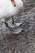 Swans feet on display as a swan searches for food on the side of a like or large pond.
