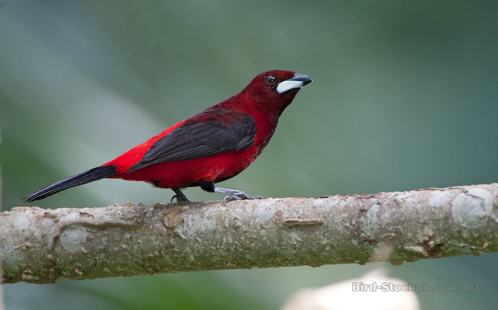 Crimson-backed Tanager, Ramphocelus dimidiatus, Panama, by Owen Deutsch