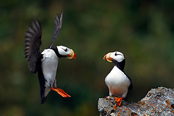 Horned Puffin (Fratercula corniculata) sitting on a rock watching another puffin attempt to land, Duck Island, Tuxedni Wilderness, Alaska Maritime National Wildlife Refuge, Alaska, United States of America