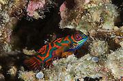 Mandarinfish (Synchiropus slendidus)<br /> Cenderawasih Bay<br /> West Papua<br /> Indonesia
