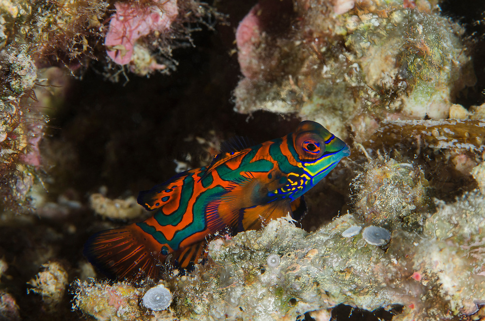 Mandarinfish (Synchiropus slendidus)<br /> Cenderawasih Bay<br /> West Papua<br /> Indonesia