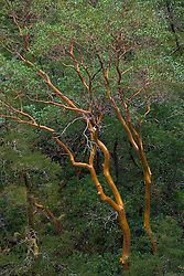 Pacific Madrone (Arbutus menziesii) in the Smith River Canyon, NW CA