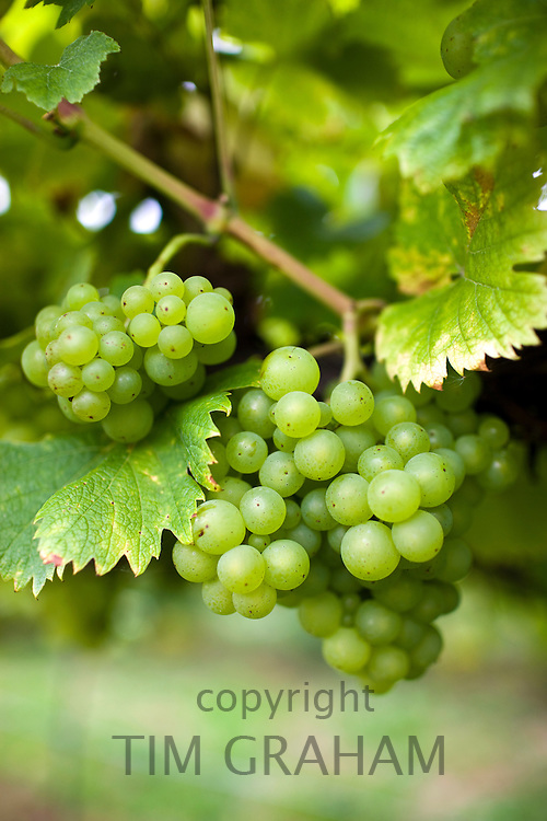 Huxelrebe grapes growing on grapevines for British wine production at The Three Choirs Vineyard, Newent, Gloucestershire