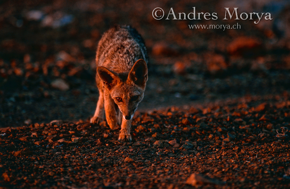 Atacama Grey Fox (Pseudalopex griseus), Chile Atacama Grey Fox (Pseudalopex griseus), Atacama Desert, Chile Image by Andres Morya