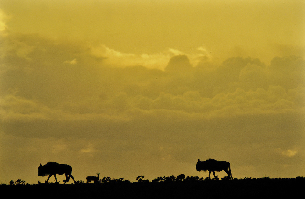 Silhouetted against the evening sky. Masai Mara, Kenya