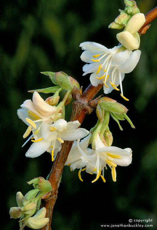 Lonicera x purpusii. Winter flowering honeysuckle