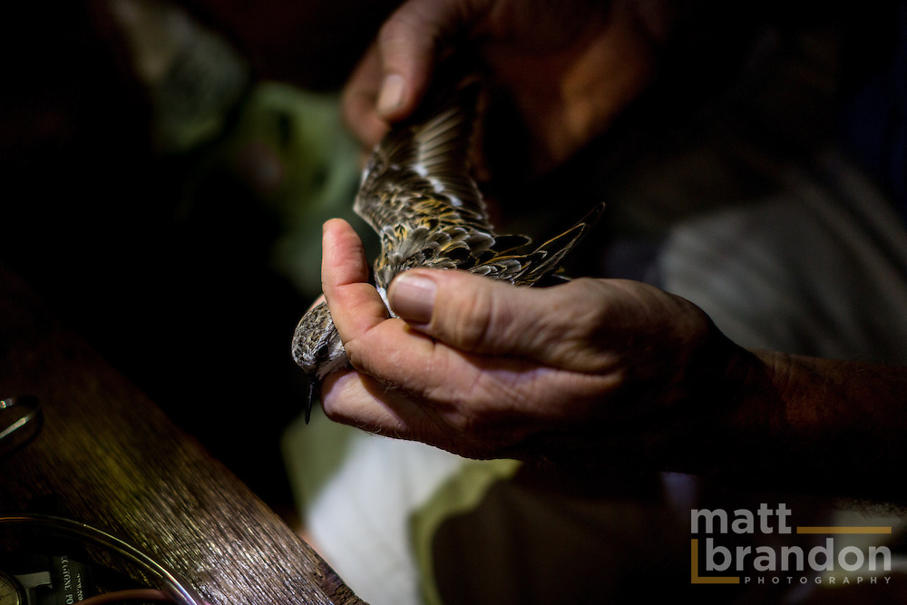 An Rocha staff member inspects the wing of a captured Plover.