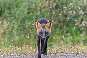 Cross fox (color variation of Red fox - Vulpes vulpes) in boreal habitat