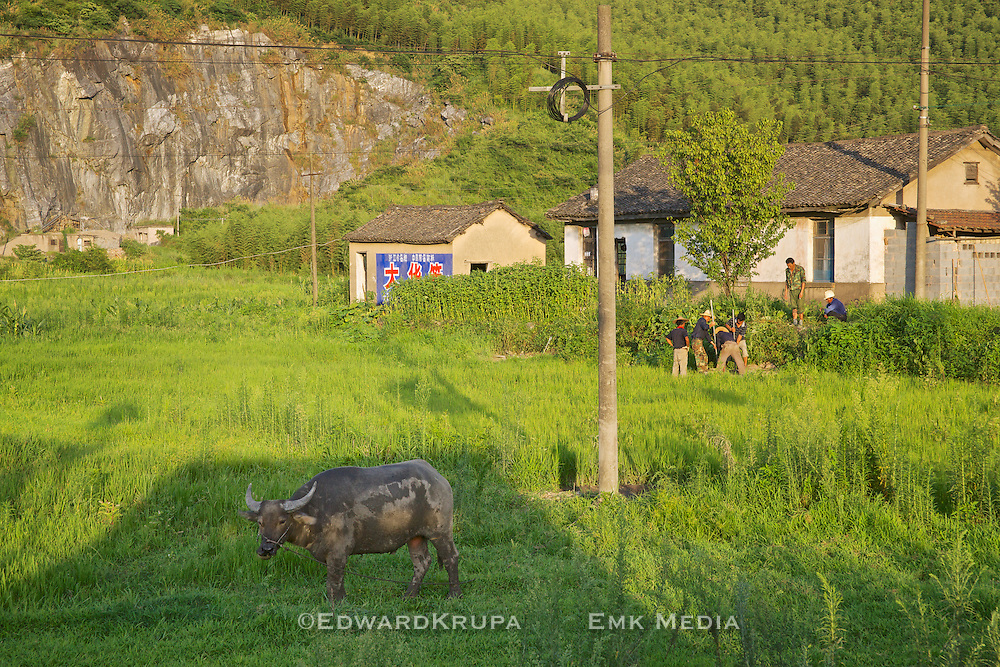 Small roadside farm scene with men working and cow looking at camera. Anji, China 2009.
