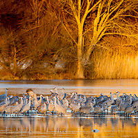 USA, New Mexico, Bosque del Apache National Wildlife Refuge, Sandhill Cranes (Grus canadensis) roosting in winter morning sun at dawn