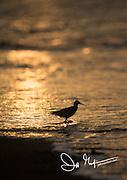 Silhouette of a shorebird at sunset on Rabida island, Galapagos.