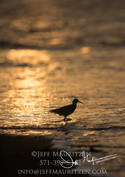 Silhouette of a shorebird at sunset on Rabida island, Galapagos.