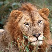 Kruger parken 2002  Syd Afrika<br /> South Africa<br /> <br /> Lejon hanne kattdjur rovdjur predator<br /> big five<br /> <br /> <br /> <br /> FOTO : JOACHIM NYWALL KOD 0708840825_1<br /> COPYRIGHT JOACHIM NYWALL<br /> <br /> ***BETALBILD***<br /> Redovisas till <br /> NYWALL MEDIA AB<br /> Strandgatan 30<br /> 461 31 Trollh&auml;ttan<br /> Prislista enl BLF , om inget annat avtalas.