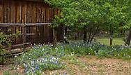 Texas Bluebonnets in bloom
