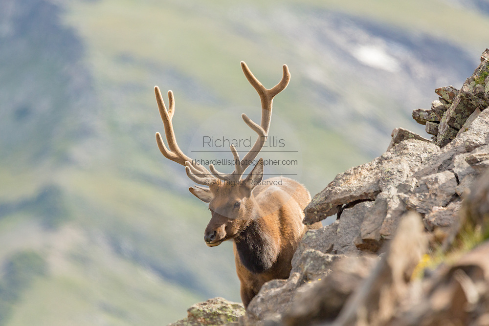 A North American elk along a mountain slope in the Rocky Mountain National Park in Estes Park, Colorado.