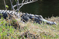 Alligator Sunning at Merritt Island National Wildlife Reserve. Image taken with an Nikon D3x and 300  mm  f/2.8 VR lens (ISO 125, 300 mm, f/8, 1/250 sec).