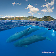 sperm whales, Physeter macrocephalus, Endangered Species, diving off the west coast of Dominica Island, near Roseau, Commonwealth of Dominica ( Caribbean Sea) (dc)