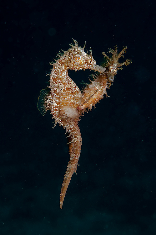 Lined Sea Horses, Hippocampus erectus, courting and mating in the the Lake Worth Lagoon, Palm Beach County, Florida, United States
