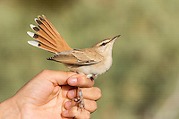 Rufous Scrub Robin Cercotrichas galactotes in hand after having had biometrics recorded at ringing station, Eilat, Israel