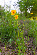 Large-flowered Tickseed (Coreopsis grandiflora)<br /> United States: Alabama: Tuscaloosa Co.<br /> Tulip Tree Springs off Echola Rd.; Elrod<br /> 26-Apr-2017<br /> J.C. Abbott