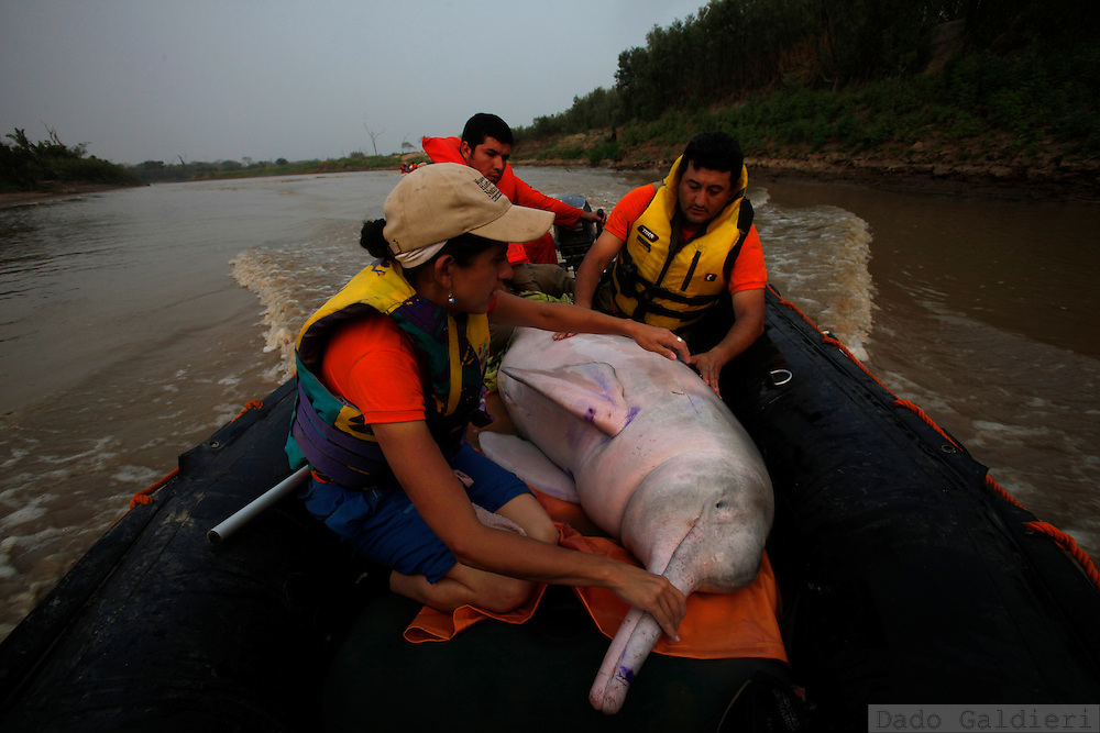 Bolivian biologist Mariana Escobar, gas state company environmental manager Rodrigo Quintana hold a 300 kg pink dolphin preventing her to jump from a rescue boat before they reach deep waters  at the Grande river near Las Londras farming complex, Santa Cruz, Bolivia, Tuesday, Aug. 24, 2010. (Hilaea Media/Dado Galdieri).