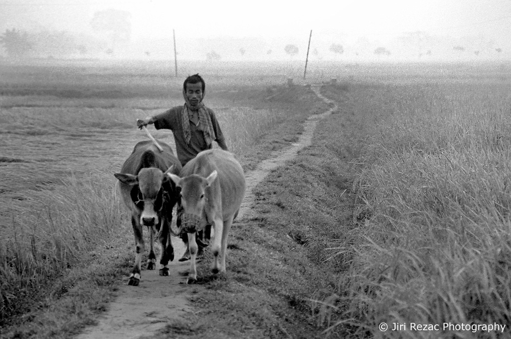BANGLADESH DINAJPUR DISTRICT KAHAROL THANA DEC94 - A Hindu farmer guides his cattle home through the morning mist. Winters can be cold with chilling temperatures as low as 2ºC...The Bangladesh Bureau of Statistics estimates the total working child population between 5 and 17 years old to be at 7.9 million...jre/Photo by Jiri Rezac..© Jiri Rezac 1994
